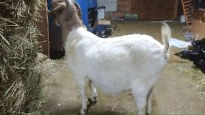 meat goats got some at 150$ one 250 one 200