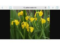 Water Iris. Pond plants. Yellow. Beautiful colours and leaves