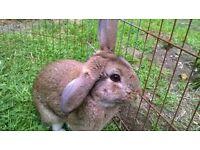 Young Male Rabbit - Rex Mix born Nov '15