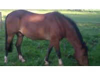 14'2 Pony for loan as companion only Exeter area