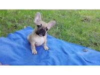 Fawn French Bulldogs Boy and Girl