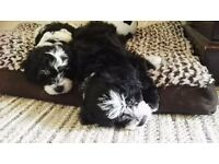 2 adorable Poodle Shih tzu cross puppies, 10 weeks old, 1 male, 1 female for sale