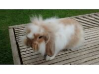 Fluffy Baby Mini-Lops