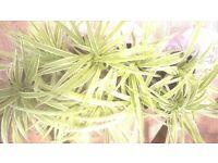 SPIDER PLANTS [various pot sizes 10-16cm]