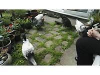 2 x Light Sussex Chickens (Hens)