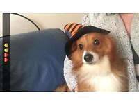 Pomeranian X Jack Russell