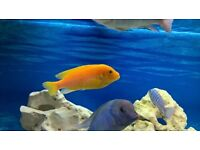 malawi cichlid red zebra tropical fish
