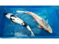 Koi carp . Delivery anywhere in UK