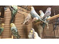 Budgies for sale~ £10 each