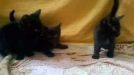 3 Black cute and playful kittens