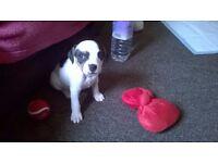 9 week old girl staff puppy
