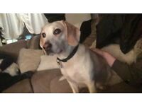 Beagle needing a new home FREE...