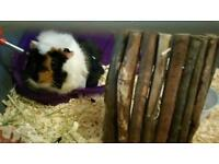 2 x 5 month old guinea pig boys