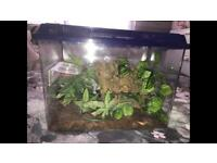 BABY CRESTED GECKO'S FOR SALE WITH OR WITHOUT SET UP
