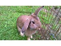 Young Male Rabbit - Mixed Rex cross