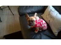 Lovely French bulldog/ girl for sale
