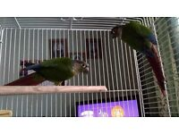 Two Conure Parrots for sale + cage