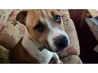 8 month old Beagle x Staff