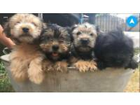 Shiatsu Terrier Cross Puppies