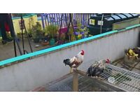 2 Roosters free to good home, can be rehomed seperately both 5 and a half months old