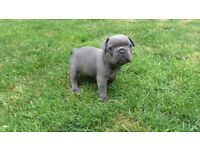 French Bulldog puppies Top Quality
