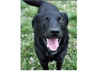 Loving Male Lab/collie cross free to forever home