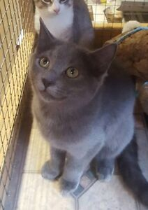 """Cole"" - beautiful female kitten available at Urban Paws"