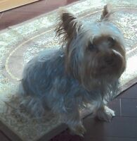 3 year old Yorkshire terrier, neutered