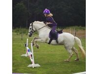 13.1hh 9 year old grey mare