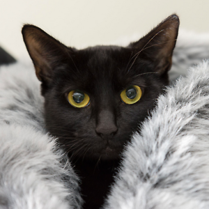 Princess rescue CAT to adopt VET WORK INC Bentley Canning Area Preview
