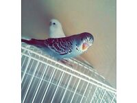 2 Budgies for re-homing
