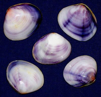 Polished Purple/Violet Clam Pr.,Cockle, Scallop,Pecten Shells~2