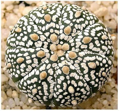 10  Astrophytum Asterias Sand Dollar Cactus  Sea Urchin Cactus Seeds  Free Gift