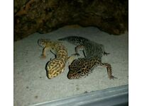 2 Leopard Geckos with Enclosure (set-up)