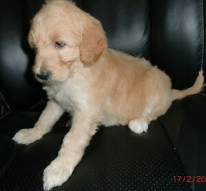 STANDARD POODLE PUPPIES AVAILABLE