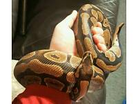 Adult Royal Ball Python, Female. 4-5 years old. Has really nice markings