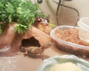 Leopard Gecko for sale price negotiable