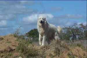 Maremma Pups Lissner Charters Towers Area Preview