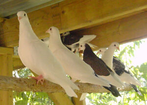 Racing homer, Roller and Iranian High Flyer pigeons for sale