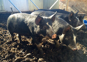 Berkshire pigs - perfect for pig roasts
