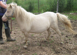 Lovely Perlino Miniature Mare For Sale