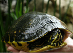 Tortues 4 differentes