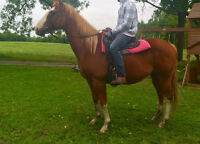 Draft Gelding X - Been there done that guy