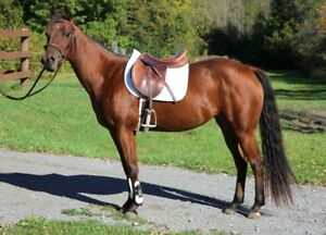 3 year old registered quarter horse