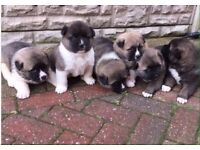 6 japanese Akita puppies for sale