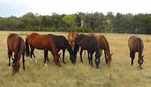 Australian Stock Horses Tomingley Narromine Area Preview
