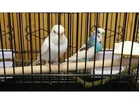 2 Healthy Budgies for sale with cage and accessories.