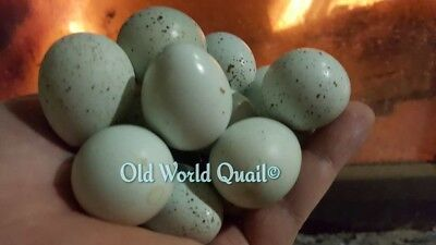 16 Very Very Rare Gene Blueceledon Coturnix Quail Fertile Hatching Eggs