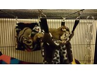 Sugar Gliders family of 4 + full setup and tons of extras
