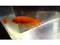 20x Comet Goldfish for sale - Pond Coldwater